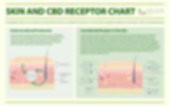 Skin and CBD Receptors.png