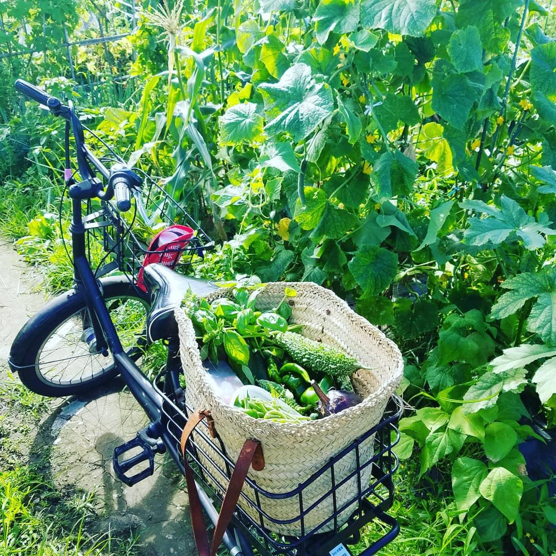 自転車のカゴいっぱいに夏野菜の収穫