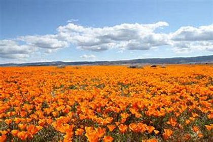 ant valley poppies.png