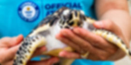 Baby turtle being released by conservationists on Koh Tao, Thailand