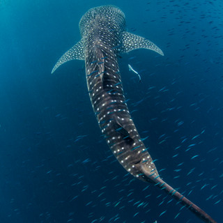 Whaleshark from above
