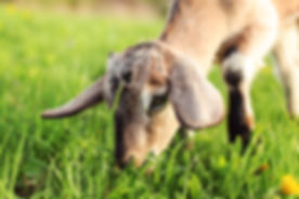 Close up photo on head of brown goat kid