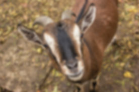 a brown goat smile to the camera , a mal