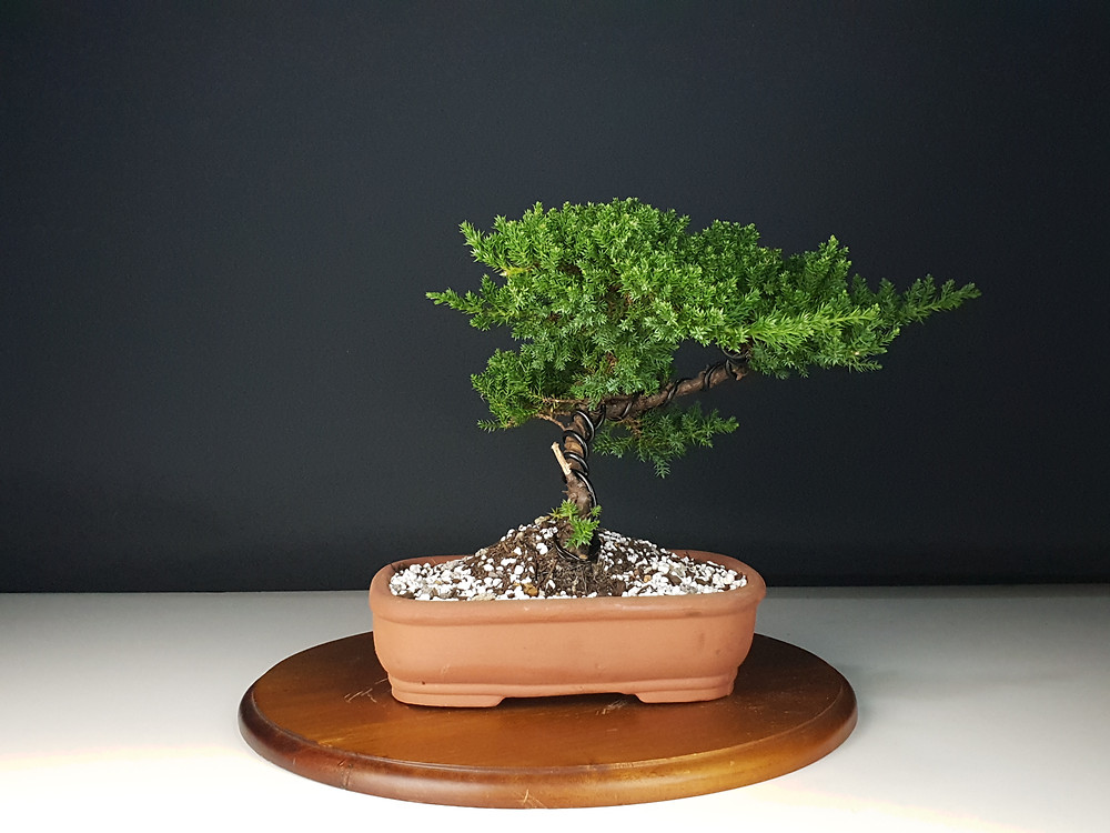Bonsai Tree Bonsai-En