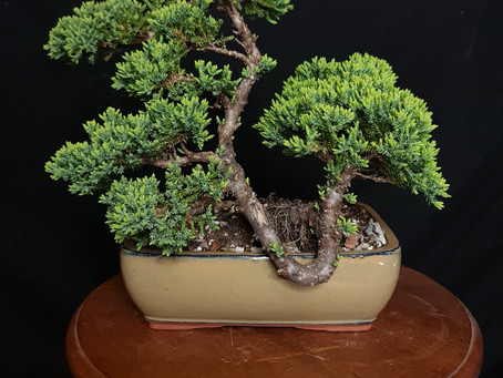 Is A Bonsai Just A Small Tree?