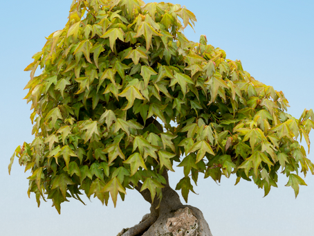 Trident Maple Care And Cultivation