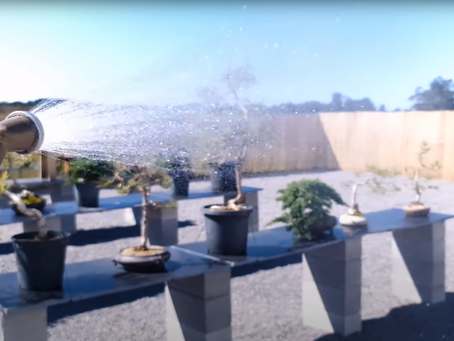 How To Water A Bonsai Tree