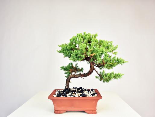 Basic Care Guide For A Juniper Bonsai Tree