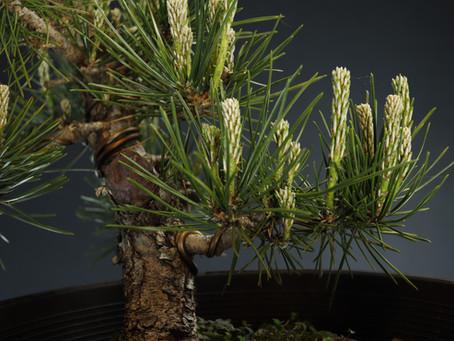 When Do You De-Candle A Black Pine?