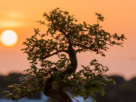Phototropism And Why Its Important To Rotate Your Bonsai Tree