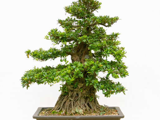 A Guide To The Basic Styles Of Bonsai