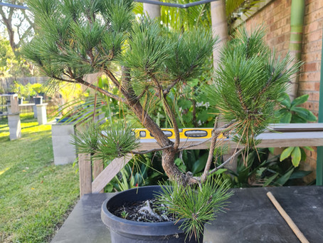 Bending Large Black Pine Trunks With A Wedge Cut