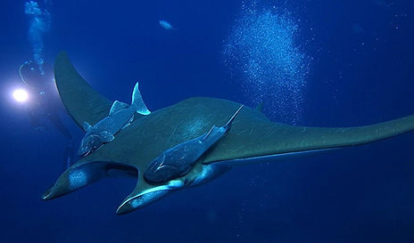 Mantas Mobulas Diving Offshore Shark Dive Azores Ponta Delgada Scuba Diving Tauchen Plongée Buceo Mergulho