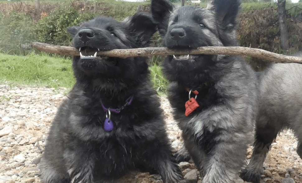 altdeutche-schaferhunde-groupe-s7-2femelle-min!.jpg
