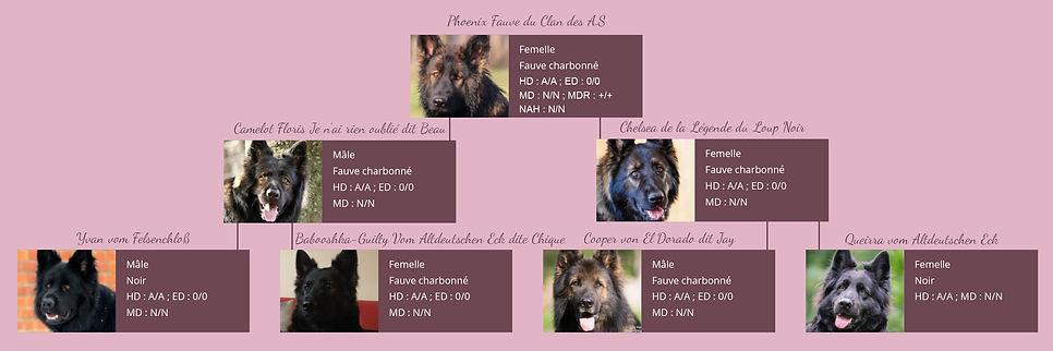 pedigree-phoenix-fauve-du-clan-des-as-20