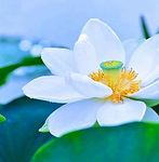 lotus-denderah-lunalouve