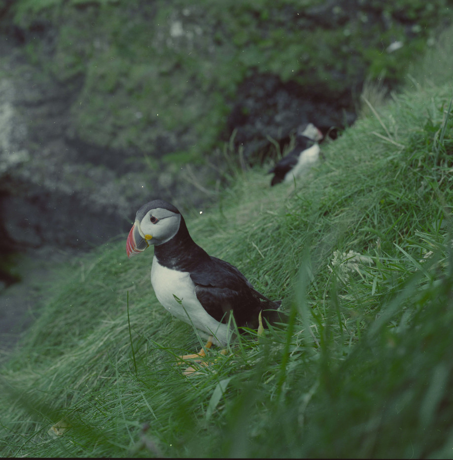 another puffin