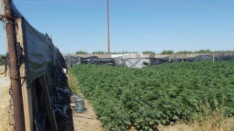KernCounty Sheriff'sOfficeServes Search Warrant,Seizes 11,395 Marijuana Plants.
