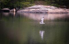 Gull & Reflection