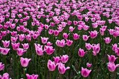 Tulips_at_Friedensbrücke.jpg
