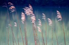 Ferns on Water -- Bavaria.jpg