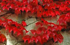 Red Ivy -- September in Tirol .jpg
