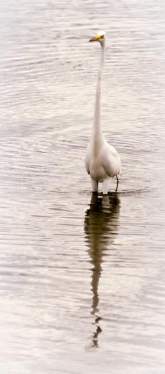 Long Necked Goose-2_160610_Rhode Island_
