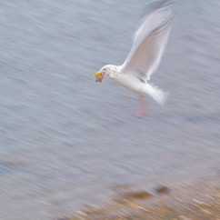 Some are active.  A Perfect Gleaning in Winter.  The gull drops the shell fish to open it on the rocks below.