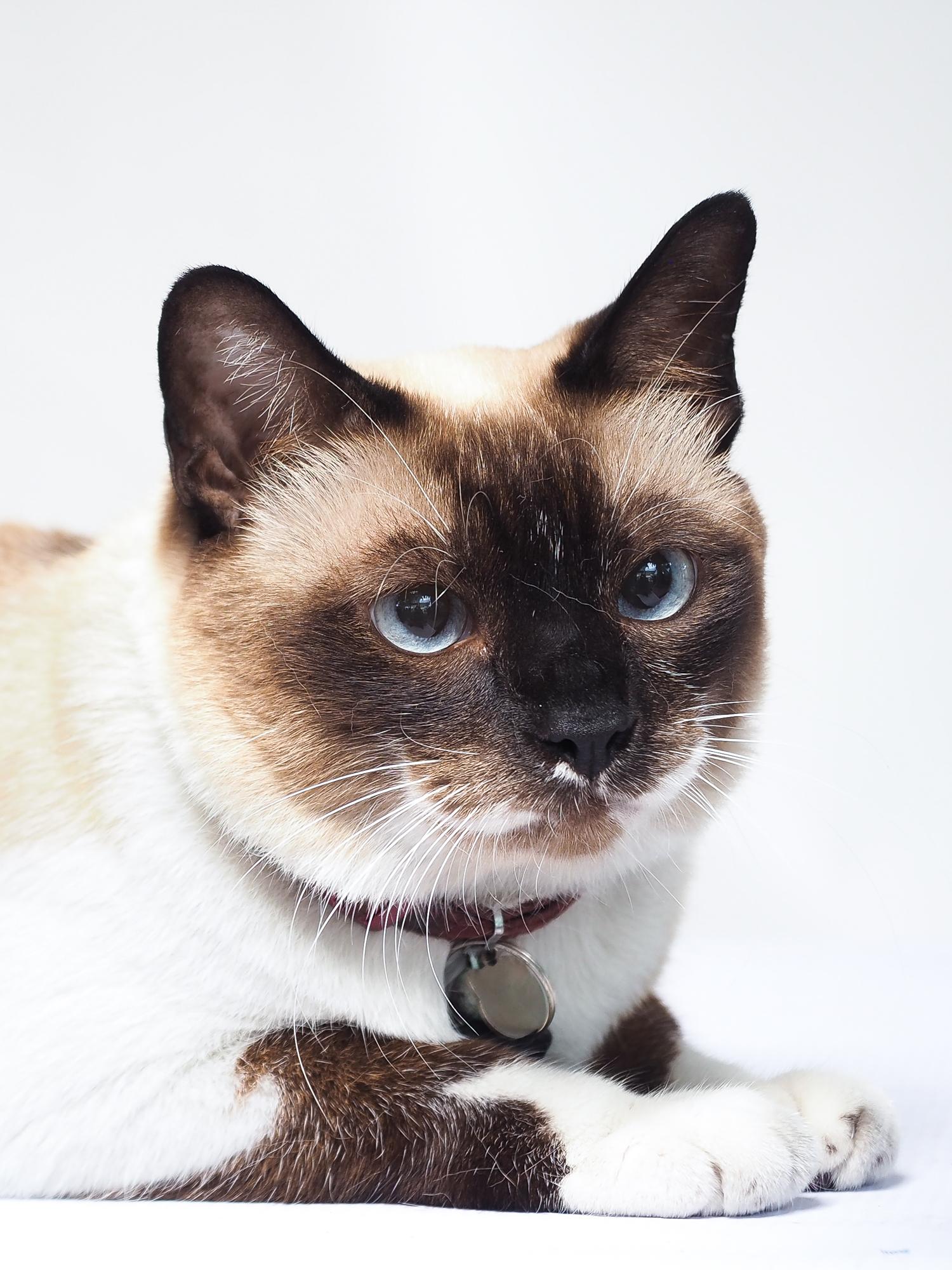 Ginger Siamese Cat-4130626