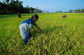 Organic Paddy Farm