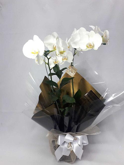 Orquídea Phalaenopsis duas haste embalagem
