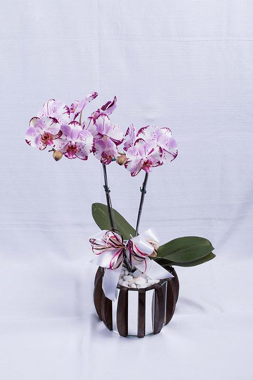 Orquídea Phalaenopsis cachepô
