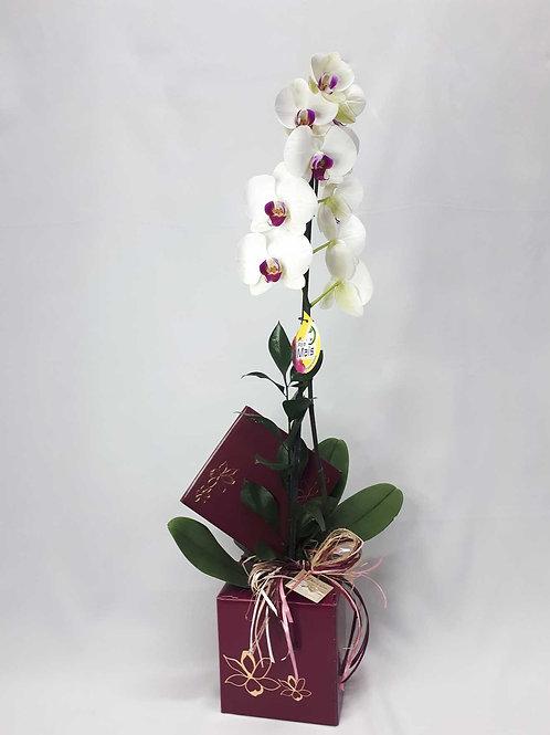 Orquídea Phalaenopsis Embalagem