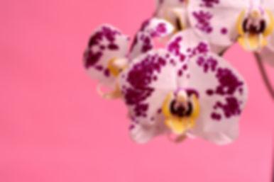 orchid-4380967.jpg