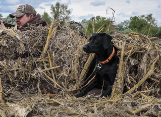 Modernizing Gundog Safety: Alex Langbell changes how we hunt.