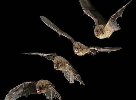 Nietoperze to nasi sprzymierzeńcy w walce z komarami.
