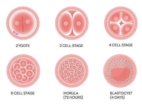 Стадии развития эмбриона человека в программе ЭКО