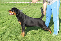 Bacardi of Black Trovants, female rottweiler, Roko Edelstein offspring