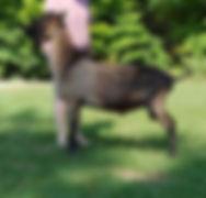 alpine buck.jpg