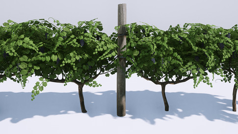 Grapevines: Modeling, Textureing, Material.