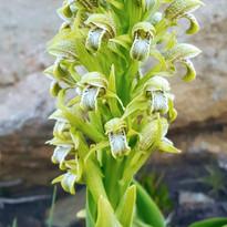 Orquís