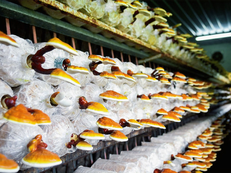 REISHI: Mushroom of Immortality