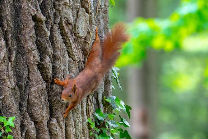 Eichhörchen im Giessenpark