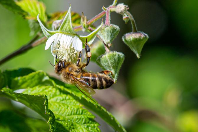 Biene im Garten