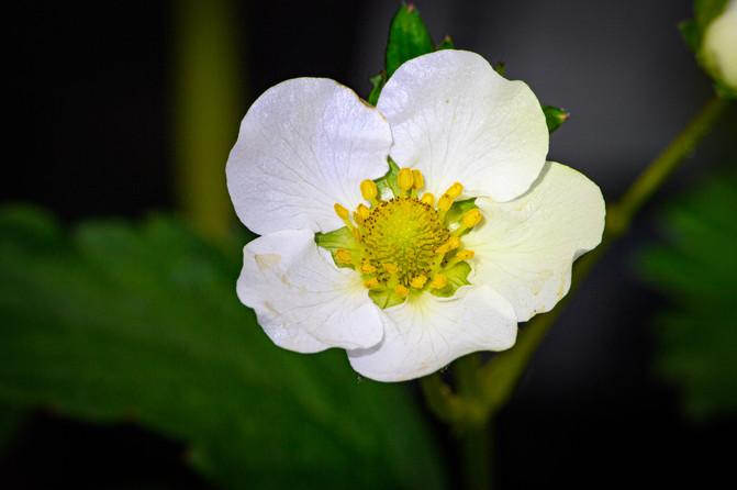 Erbeer Blüte