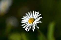 Gänseblümchen im Garten / Chur