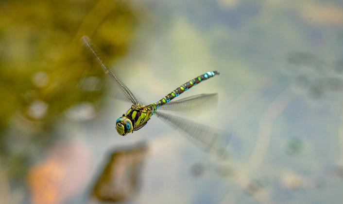 Mosaikjungfer (Männchen) im Flug