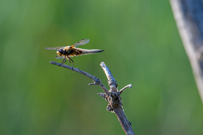 Libelle im Gandalöser