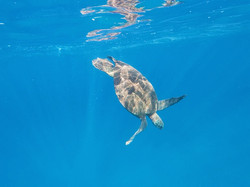 Turtle at Electric Beach
