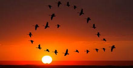migrating geese.jpg